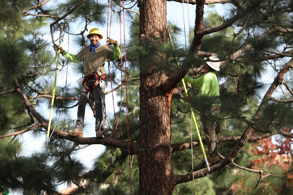 Fine Pruning A Pine Tree